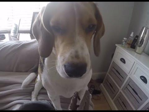 Ultimate Guilty Dog – Funny Beagle Shamed!