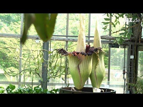 Botanischer Garten Kiel: Die Titanwurz blüht doppelt - die größte Blume der Welt hat sich geteilt