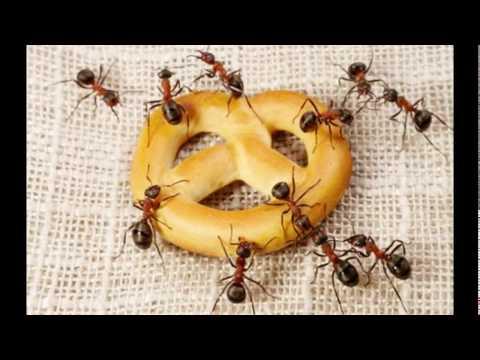 KaZeTKa - Mravec -robber ant