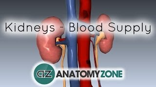Blood Supply To The Kidneys - 3D Anatomy Tutorial
