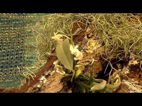 Orchideen Arten: Phalaenopsis gibbosa