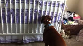 Boxer Responds To Newborns First Cries -  You Would Never Expect This!
