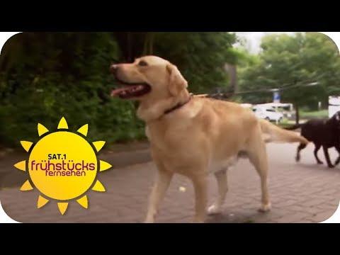 Hunde im Büro: arbeits- oder stressfördernd? | SAT.1 Früh ...