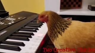 Thế giới thú vị: Khi gà biết chơi đàn piano
