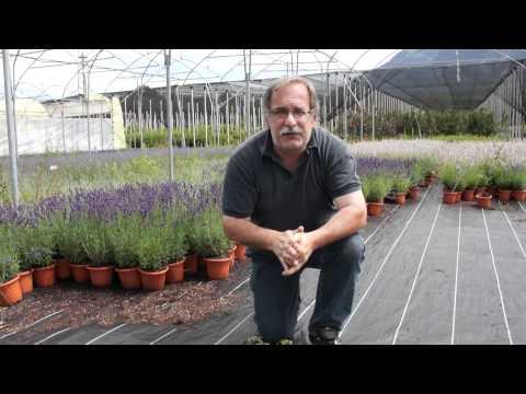 Die Vorteile der grossen Bodendecker (Vinca minor)