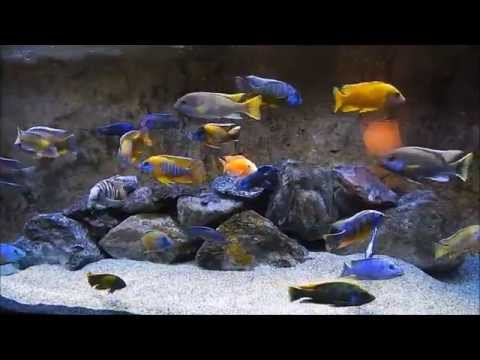 cichlid - I love thumbs down that let me know that I'm doing something right for the ones that do give me a thumbs down let me see your tank the proof is in the puddin...