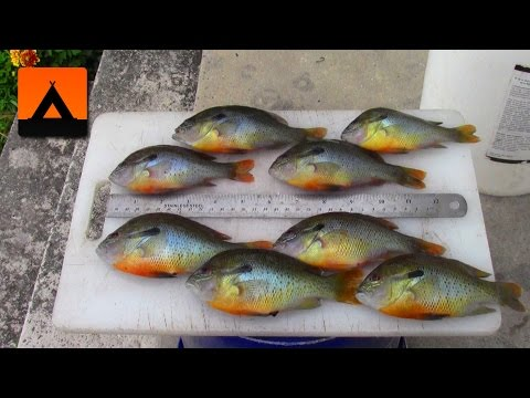 How to fillet small bluegill and rock bass for Panhandler fish filleter