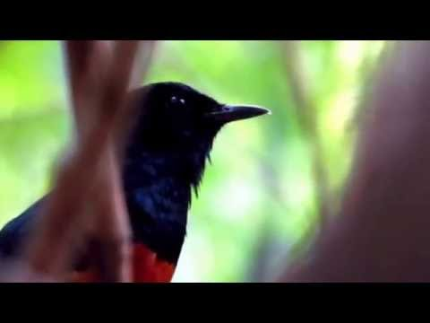 Wild Shama singing เสียงนกกางเขนดงร้องในป่า 2/2