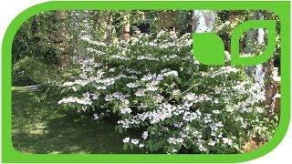 Viburnum plicatum Mariesii - Etagenschneeball (Chelsea 2014)