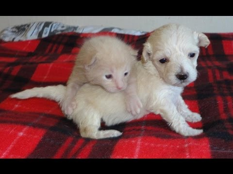 lacey - Meet Lacey and Coco Puff, two young lives saved by one of Kitten Rescue's dedicated volunteers. She is running the Big 5K in mid-March with Team Kitten Rescu...