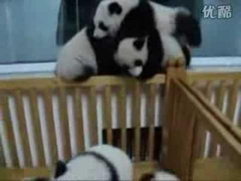 Panda Fight!