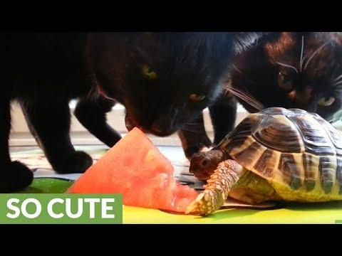 la-tartaruga-e-i-gatti-che-si-dividono-languria