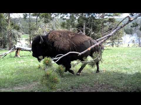 How to get close-up photos of buffalo