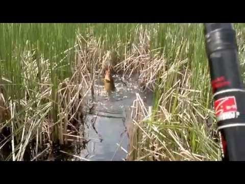 карась на камышах лещадь вплавь видео