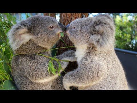 Koalas schützen: In vielen Regionen Australiens sind  ...
