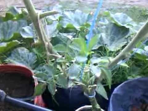 Tomates Hidroponicos en Caño de PVC 10 12 2011.MP4