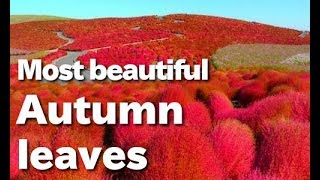 The Most Beautiful Autumnal Leaves In The World - Hitachi Seaside Park, Japan