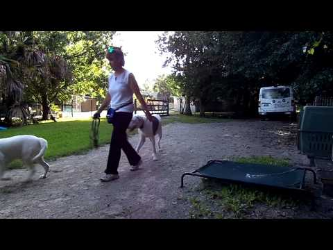 Deaf Dog Training Great Dane Tosca Off Leash Recall Dogtra Pager