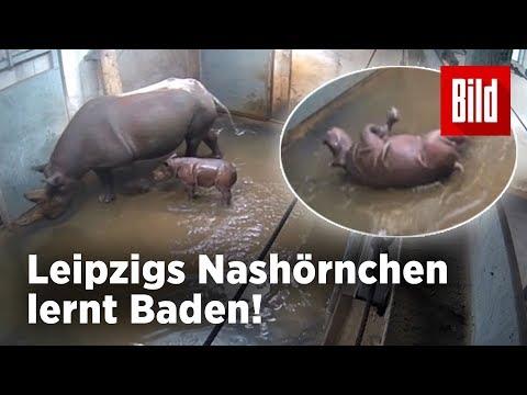 Leipzig: Das erste Bad – Süßes Nashorn-Baby aus dem L ...