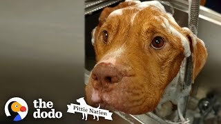 Starving 19-Pound Pit Bull Gains 50 Pounds    The Dodo Pittie Nation by The Dodo