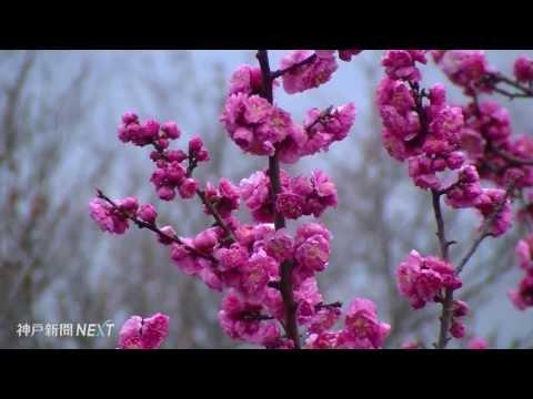 島内有数の梅の名所 洲本市・生石公園
