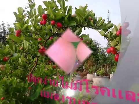 ปลูกมะม่วงหาวมะนาวโห่ในบ่อซีเมนต์