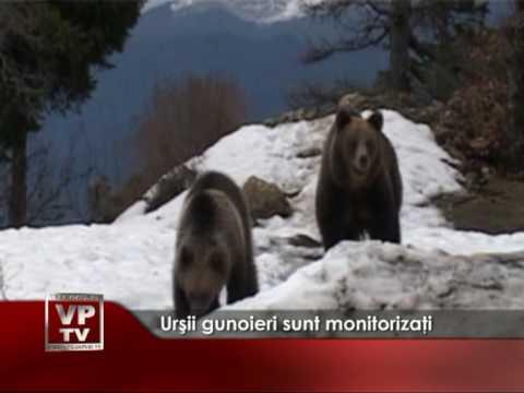 Urşii gunoieri sunt monitorizaţi