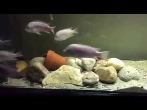 Petrochromis sp.myunga