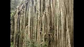 Yungaburra Australia  City new picture : Curtain Fig Tree in Yungaburra Australia