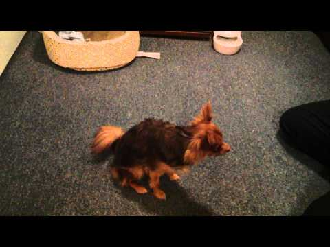 Marley the Long Hair Chihuahua Doing Tricks
