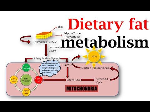 Dietary fat metabolism