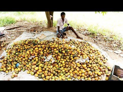 100 Kg Mango Fruit Juice Prepared by my Village Friends | village food taste