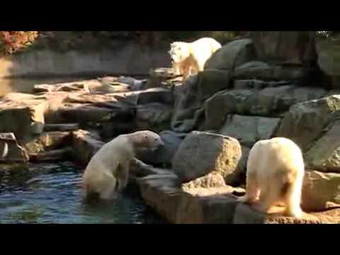 Knut l\\'ours polaire maltraité par ses congénères (видео)