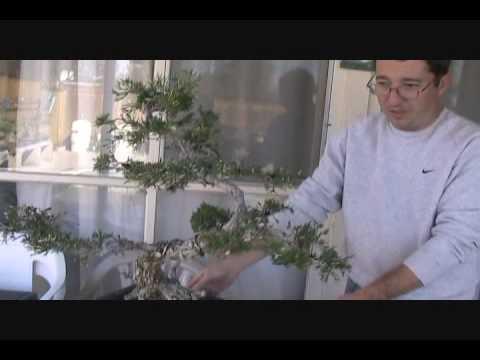 Video: ghép cây tùng, bách xù P2