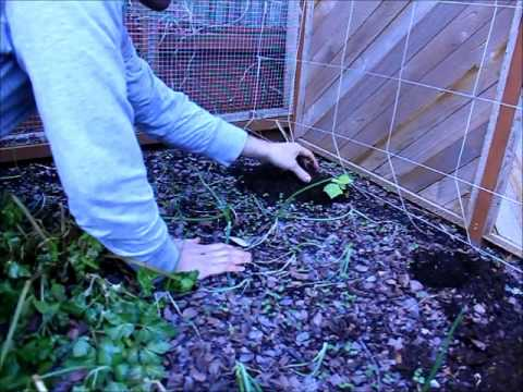 how to transplant cucumbers