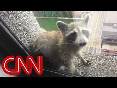 Raccoon climbs 25-story building, goes viral