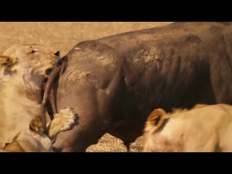 Epic Battle Between Lions and Bull - The Hunt - BBC Earth (видео)