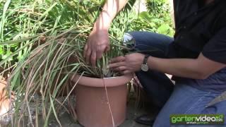 #1307 Terrassengarten mit Wasabi Zitroneneukalyptus Zimt-Aroma-Pflanze Zitronengras