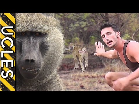 wild - In this following sample clip from Andrew's African footage archive he demonstrates his approach with wild Baboon's. Are some animals more aware of our primitive hunting capabilities than we...