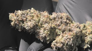 Dry Trimming the Frosted Fruit Cake by Urban Grower