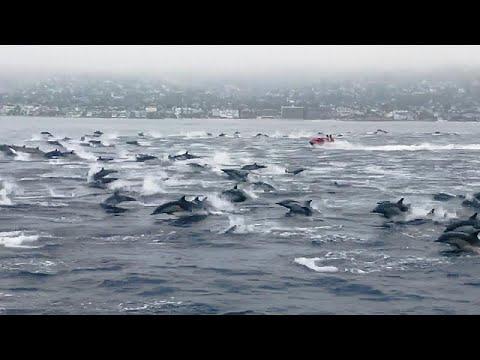 Κοπάδι δελφινιών «κυνηγάει» σκάφος