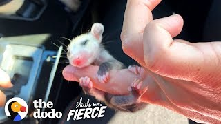 This Baby Opossum Has the Cutest Hands | The Dodo Little But Fierce by The Dodo