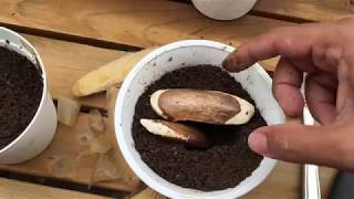 Video Growing mango from seed-in pots-Trying out Bonsai MP3, 3GP, MP4, WEBM, AVI, FLV Oktober 2018
