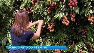 Turistas colhem lichia direto das árvores em parque de Itu