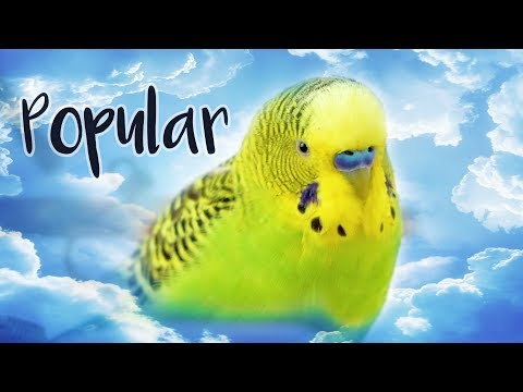 The World's Most Popular Pet Bird