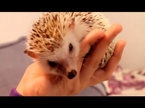 hedgehog - In this video I share with you all the things I can think of that can help your african pygmy hedgehog become more comfortable with you and it's environment....