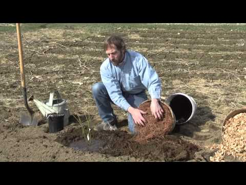 planting - University of Maine Cooperative Extension fruit and vegetable specialist David Handley demonstrates how to plant high bush blueberries.