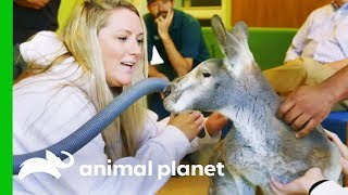 Dave The Kangaroo Gets Cryotherapy Treatment For His Arthritis | The Zoo by Animal Planet