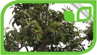 #437 Gartenshow Bloom (Irland, 2011) - Äpfel statt Oliven