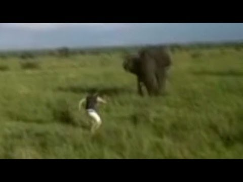 elephant - Man who charged elephant spared life, but not job. CNN's Jeanne Moos reports. For more CNN videos, visit out site at http://www.cnn.com/video/